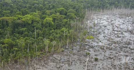 The sea rushed in an poisoned this forest near Yeretuap village © Greenpeace/Rante
