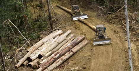 Bulldozers drag felled logs through the forest near Sarmi © Greenpeace/Rante