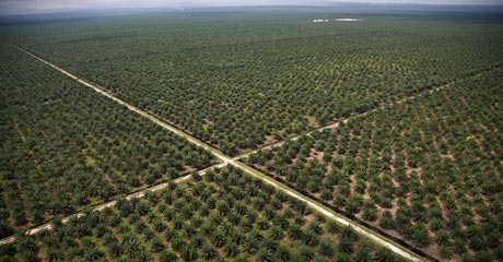 Oil palms stretching as far as the eye can see - another Duta Palma creation All images © Greenpeace/Novis