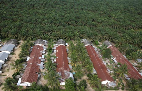 A very short commute to the plantation from these houses © Greenpeace/Novis